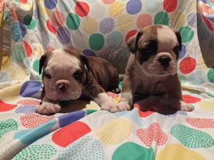 Bulldog Ingles cachorros para el dia del niño!!