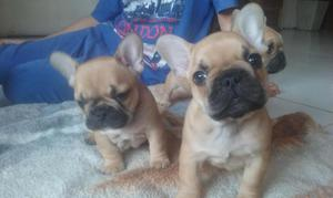 Cachorros Bulldog Frances con Fca