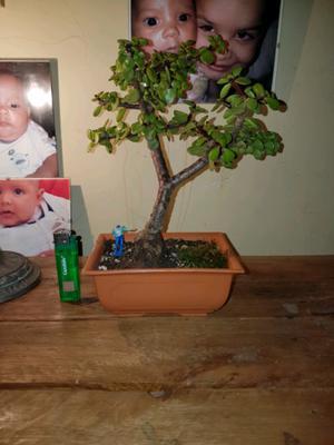 Imperio bonsai cuarto posot class for Bonsai vendo