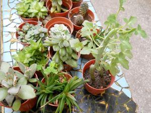 6 plantas suculentas y cactus en maceta n 8, colmadas