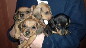 Cachorros Salchichas,, ideal para el dia del niño