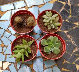 set de 4 suculentas, crasas y cactus en maceta numero 6