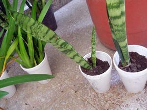Planta Suculenta Sansevieria En recipiente de 12 cm