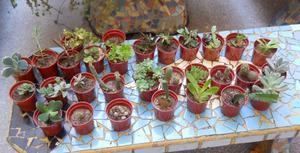 Lote De 10 Crasas Y Cactus A Elección. Souvenirs
