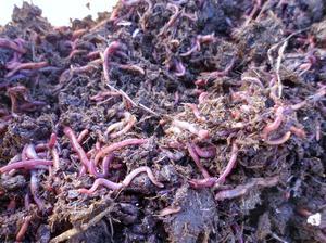 lombrices californianas (ensenias foetida).Descuentos