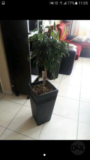 Ficus en maceta piramidal