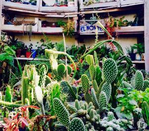 plantas morenal gran variedad de cactus posot class