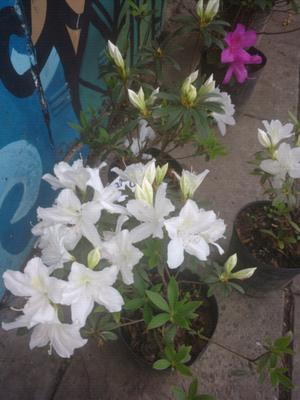 Azaleas llenas de flores y pimpollos