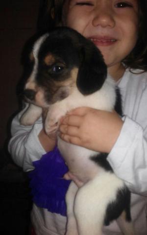 vendo tiernos cachorros cruza de beagle