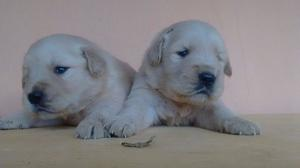 UNICAS GOLDEN RETRIEVER PARA RESERVAR!!! TARJETAS