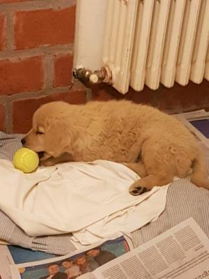 Cachorro golden retriever de 60 dias