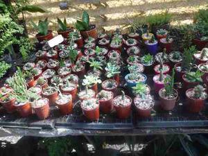 Cactus Y Crasas Souveniers En Maceta De 6