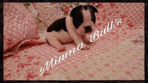Bulldog Francés Vaquitas