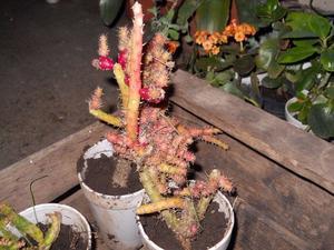 Cactus Austrocylindropuntia salmiana en recipiente de 12 cm,