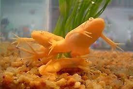 vendo ranas albinas son 3 albinas y una verde
