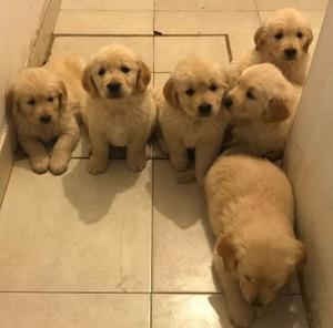 VDO CACHORROS GOLDEN RETRIEVER