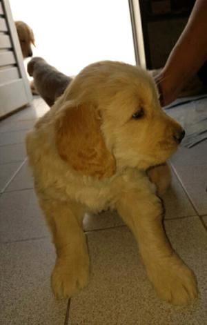 Vendo Cachorro Macho Golden Retriever Pelo Largo