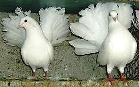 palomas abanico yunta blanca