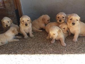 Cachorros golden retriever