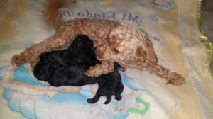 Caniches pareja con sus bebe