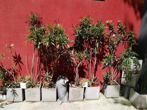 Lote 6 plantas laurel en flor con macetas cemento