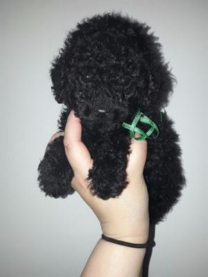Machitos Caniches Toy Negros Azabache!!! Listos para