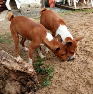 En adopción responsable pareja de perros raza basenji