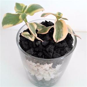Planta carnosa mini Dia de la madre