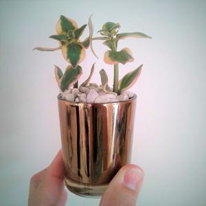 Planta suculenta mini Dia de la Madre