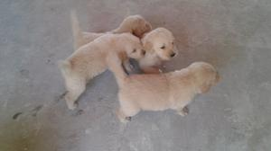 Venta de cachorros golden retriever puros