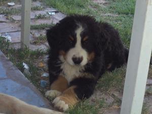 BOYERO DE BERNA, hermosos cachorros