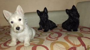Hermoso Cachorro Scottish Terrier -macho Atigrado (la Plata)