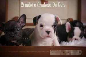Cachorros Bulldog Frances Dia De La Madre!!! Con Fca