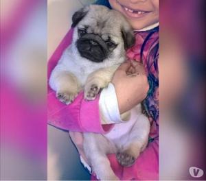 Adorables cachorros de Pug Carlino!! no te los podes perder!