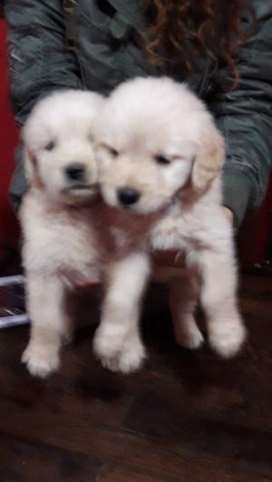 Se vende cachorros golden retriever