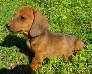 Vendo cachorros Salchichas / dachshund !! Miralos