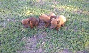 Cachorros Salchicha mini.