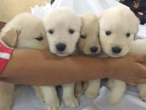 9 Cachorros Golden Retriever