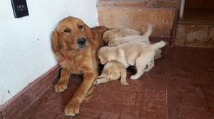 VENDO HERMOSOS CACHORROS GOLDEN RETRIEVER PUROS