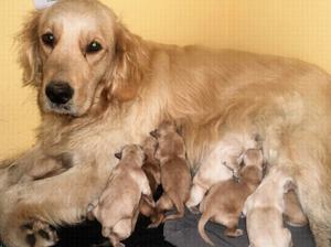 Cachorros golden retriever puros