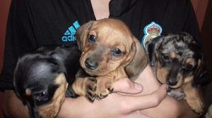 Cachorros Salchichas arlequines...