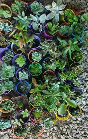 Cactus Y Crasas.