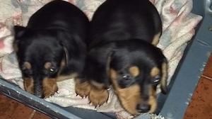 Cachorros salchicha mini negro y fuego