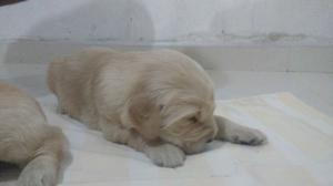 VENDO CACHORROS GOLDEN RETRIEVER