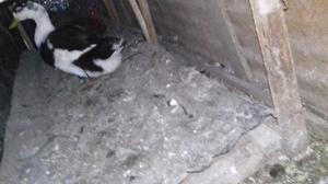 Vendo o permuto patos marruecos