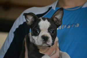 Cachorros Machos Boston Terrier (no Bulldog Francés)