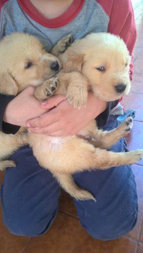 Golden Retriever Cachorros, Envio Sin Cargo.