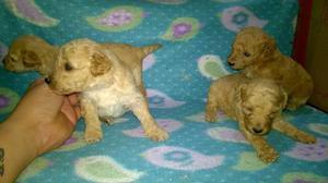 Hermosos Cachorros Caniche Toy Envio Sin Cargo.