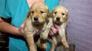 Cachorros Golden Retriever(camada De 10 Cachorros)