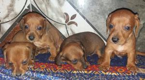 cachorros salchichas 100% puros
